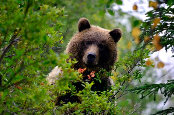 Brown bear, Lake Clark NP Alaska