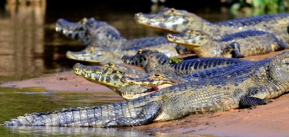 Caiman Pantanal