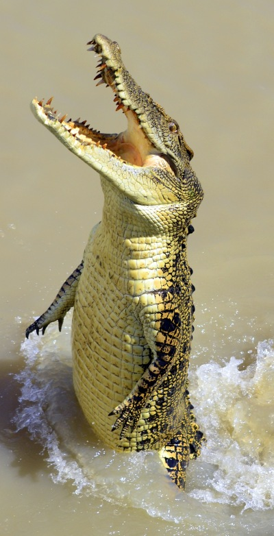 Mary River croc